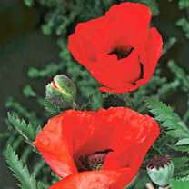 Poppy Plants - Brilliant