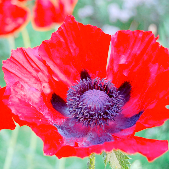 Poppy oriental Plant - Beauty of Livermore