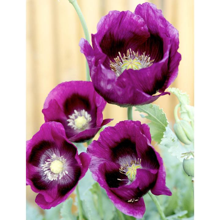 Poppy Seeds - Laurens Grape