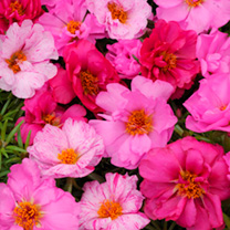 Portulaca Happy Hour Seeds - Pink Passion Mix