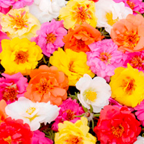Portulaca Plants - Happy Trails Mix