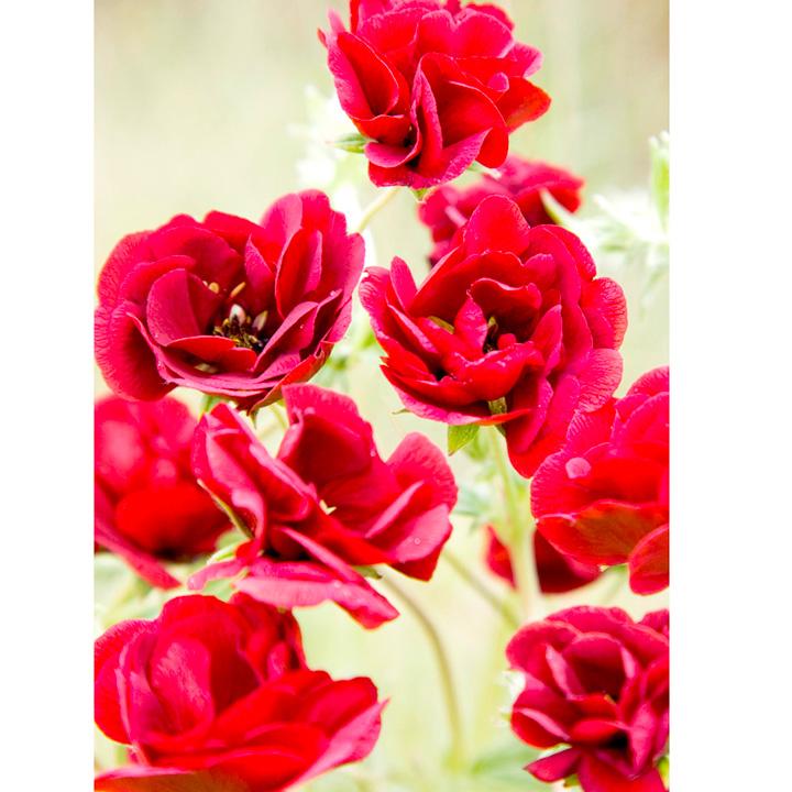 Potentilla Plant - Flamboyant