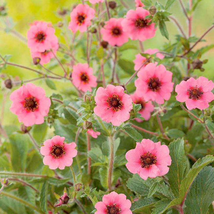 Potentilla Plant - Miss Willmott