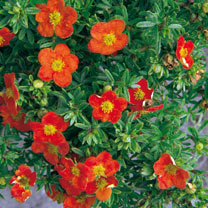Potentilla Plant - Red Lady
