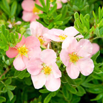 Potentilla fruticosa Plant - Pink Beauty