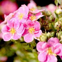 Potentilla f. Plant - Pink Paradise