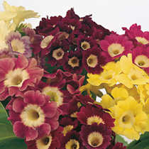 Primula Plants - Auricula Mix
