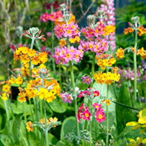 Rosettes of toothed, crinkly leaves topped by imposing flowers in a bright mix of colours. Popular late spring flowering plants in both modern and tra