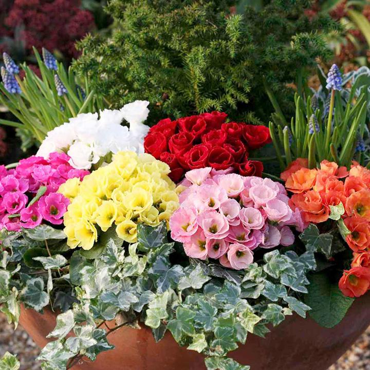Primula acaulis Romio Mix (Primrose) - 30 Garden Ready Plants