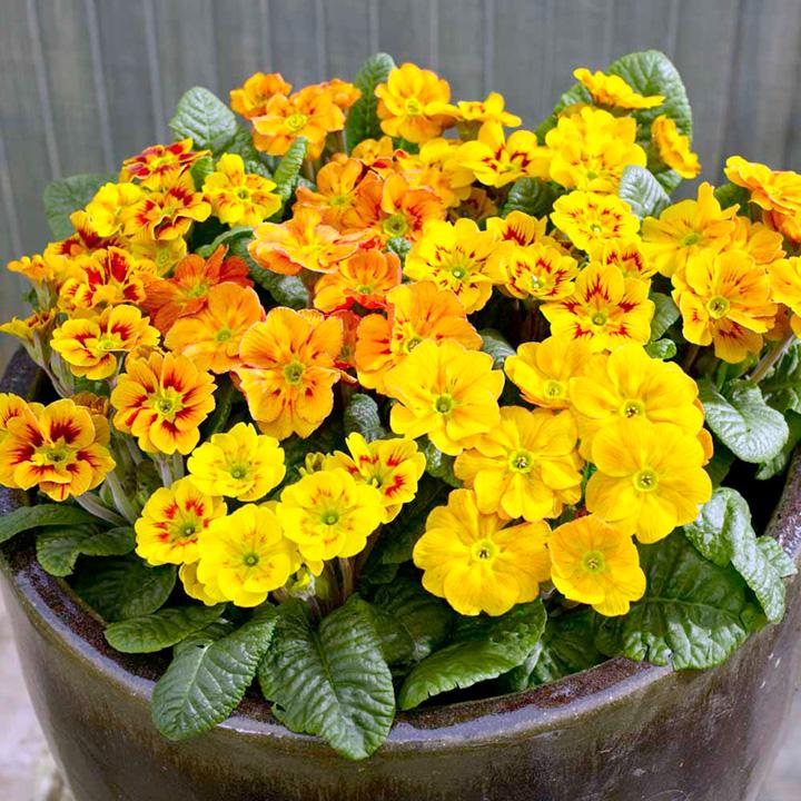 Primula acaulis Firecracker (Primrose) - 30 Garden Ready Plants