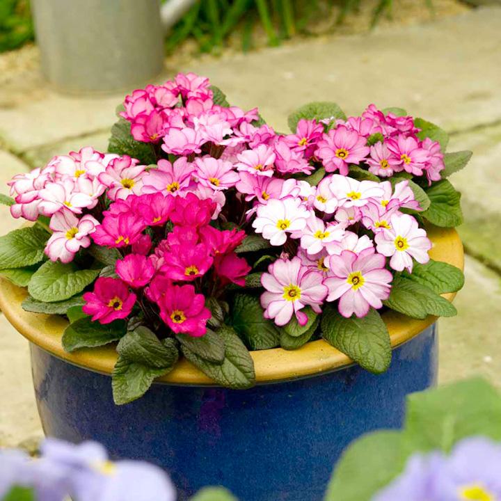 Primula acaulis Woodland Walk (Primrose) - 30 Garden Ready Plants