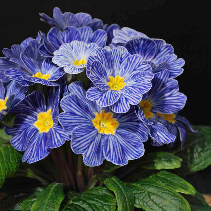 Primula acaulis Zebra Blue Fl (Primrose) - 15 Garden Ready Plants
