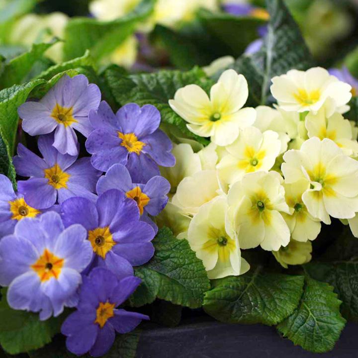 Primula acaulis Vanilla Ice (Primrose) - 30 Garden Ready Plants