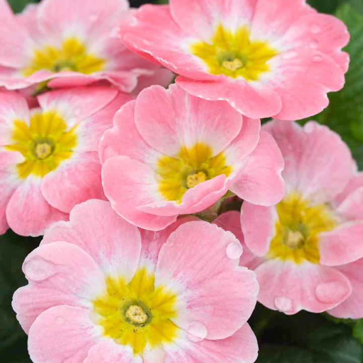 Primula acaulis Appleblossom (Primrose) - 30 Garden Ready Plants