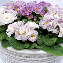 Primrose Plants - Blueberry Ice