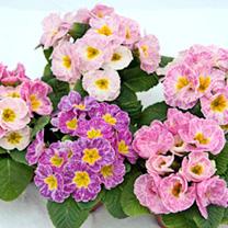 Primrose Plants - Strawberry Ice