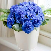 Primula Belarina Plants - Collection