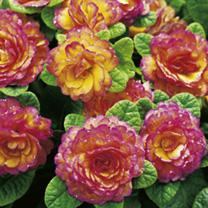 Primula Belarina Plants - Nectarine
