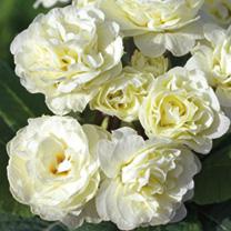 Primula Belarina Plants - Cream