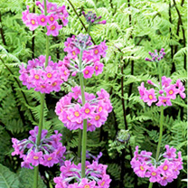 Primula Candelabra Plants - Collection