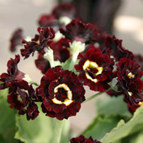 Primula auricula Plants - Collection