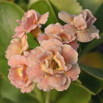 Primula auricula - Late Romantic Plants