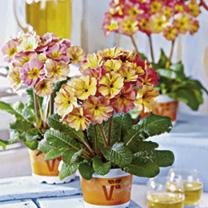 Primula Plants - F1 Sylvita Peach melba