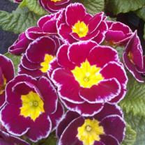 Primrose Plants - Lovely Lace Blue Flair
