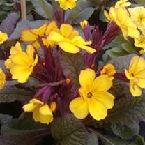 Primrose Plants - Marmalade
