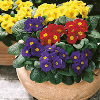 Primrose Plants - Potted Mixed