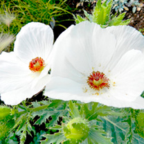 Prickly Poppy Seeds