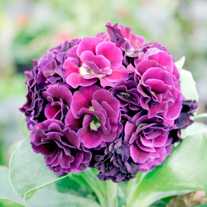 Primula auricula Plant - Purple Pip