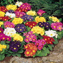 An excellent primrose bearing a profusion of early flowers in a range of pastel shades. Ideal for mass bedding displays. Superb spring colour. Also a