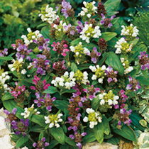 Potted Perennial Plants - Border Collection