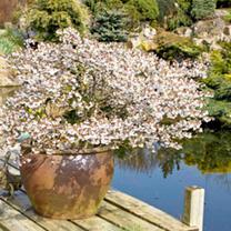Prunus incisa Plant - Kojou-No-Mai-Noble