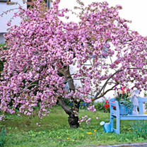 Cheal's Weeping Cherry Tree