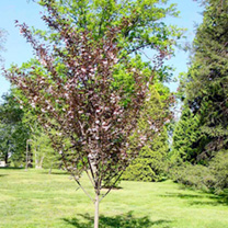 Prunus Tree - Royal Burgundy