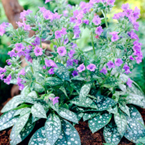 Pulmonaria Plant  Trevi Fountain