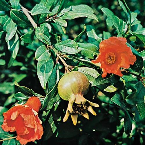 Pomegranate Seeds - Alhambra
