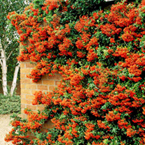 Pyracantha Orange Glow Potted Plants - 60cm+ x 10