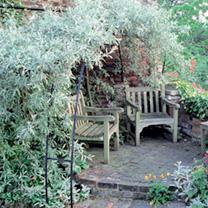 Pyrus salicifolia pendula Tree