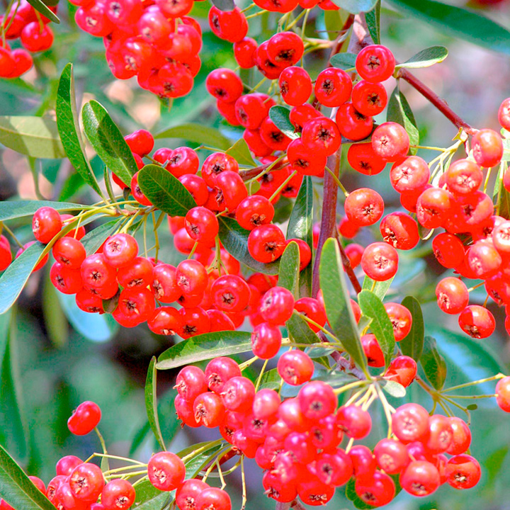 Pyracantha Plant - Red