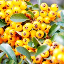 Pyracantha Plant - Yellow