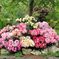 Rhododendron Duo Plant