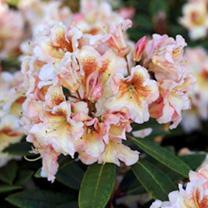 Rhododendron Plant - Bernstein