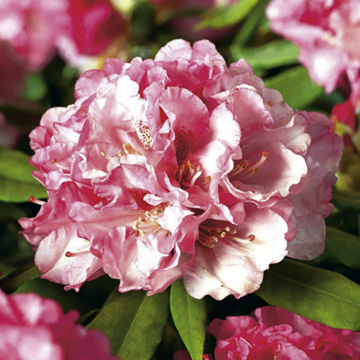 Rhododendron Plant - Inkarho Tina Heinje