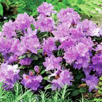 Rhododendron Dwarf Plant - Ramapo