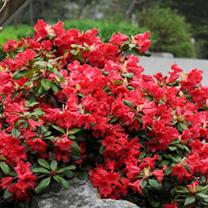 Rhododendron Dwarf Plant - Scarlet Wonder