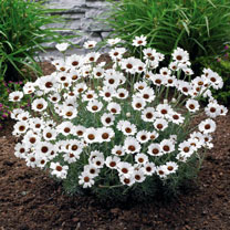 Keep weeds at bay in your garden with a pretty blanket of snowy white flowers! Tightly knit plants cover bare soil quickly and without fuss. Flowering