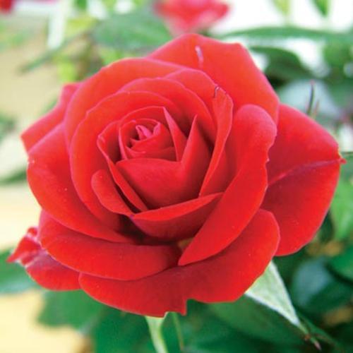 Rose Plants with trellis - Twin Pack + FREE Fertiliser